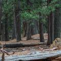 Dense forest along the trail. - San Gorgonio via Momyer Creek Trail + Vivian Creek Trail