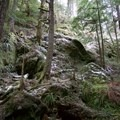 Old-growth trees along the path to Little Si.- Little Si