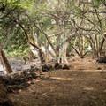 At the north end the trail runs through a dense forest.- Ala Kahakai National Historic Trail: Spencer Beach to Mau'umae Beach