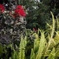 A quintessentially Hawaiian couple: kupukupu ferns and the 'ōhi'a lehua flower.- Devastation Trail