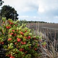 The ōhelo berries are a good food source for the nēnē, an endangered Hawaiian goose.- Devastation Trail