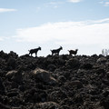Feral goats make their way in along the jagged lava.- End of the World, Kuamo'o Battlefield + Lekeleke Burial Grounds