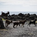 Feral goats at the Kuamo'o Battlefield and Lekeleke Burial Grounds.- End of the World, Kuamo'o Battlefield + Lekeleke Burial Grounds