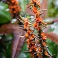 Unidentified species (help us identify it by providing feedback).- Kīlauea Iki Trail