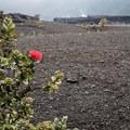 A 'ōhi'a lehua flower blooms in the Kīlaeua Iki Crater.- Kīlauea Iki Trail