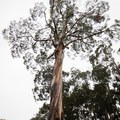 An enormous eucalyptus presides over the entrance to the campground.- Nāmakanipaio Campground + Cabins