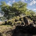 The Stone Leaning Post was originally 6 feet tall.- Pu'ukoholā Heiau National Historic Site