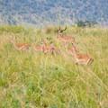 A herd of impala bounds through the Masai Mara.- Masai Mara National Reserve