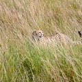 A cheetah surveys its surroundings in the grasslands of the Mara.- Masai Mara National Reserve