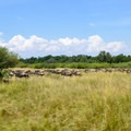 The annual wildebeest migration sees great herds move through the Masai Mara.- Masai Mara National Reserve