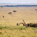 Giraffes seem to amble across the plains in slow motion with a natural gait that is paced to the great length of their legs.- Masai Mara National Reserve