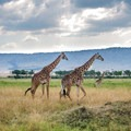 A pair of giraffes ambles across the plains of the Masai Mara with the Oloololo Escarpment in the distance.- Masai Mara National Reserve