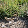 Mongoose are common in the shrubs and undergrowth.- Hāpuna Beach