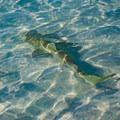 Juvenile lemon shark at Half Moon Bay.- North Caicos, Half Moon Bay