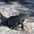 Turks and Caicos rock iguana at Half Moon Bay.- North Caicos, Half Moon Bay