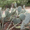 Beaver tail cactus.- Montezuma Castle National Monument