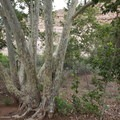 Arizona sycamore (Platanus wrightii) at Montezuma Castle.- Montezuma Castle National Monument