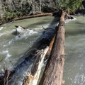 A very large redwood fell in recent rains.- Big Sur River: Gorge to Andrew Molera