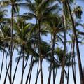 Palm trees at A-Bay.- 'Anaeho'omalu Bay / A-Bay Beach