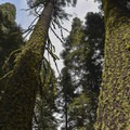 Trees along the Panorama Trail.- Panorama Trail via Glacier Point
