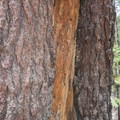 Thick bark protects pine trees from fire, insects, and diseases.- Panorama Trail via Glacier Point