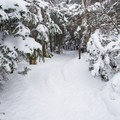 The spruce layer is dense and caked with snow in the winter.- Camels Hump Via The Burrows Trail