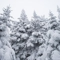 Snow caked trees near the clearing and intersection with the Long Trail.- Camels Hump Via The Burrows Trail
