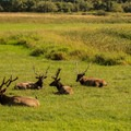 A herd of Roosevelt elk enjoy a meadow near Loon Lake Lodge.- Loon Lake Waterfront House