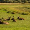 A herd of Roosevelt elk enjoy a meadow near Loon Lake Lodge.- Loon Lake Lodge Waterfront House