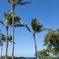 Palm trees above Kikaua Point. - Kikaua Point Park + Beach