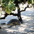 Sea turtles frequently haul out for a rest at Kuki'o Beach. Always keep your distance to avoid disturbing their recovery.- Kuki'o Beach