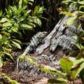 Iguana on Half Moon Caye.- Belize Barrier Reef System
