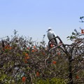 Protected red footed booby bird on Half Moon Caye. - Belize Barrier Reef System
