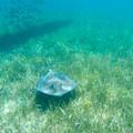 Stingray cruising along the ocean grass.- Belize Barrier Reef System