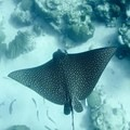 Spotted eagle ray.- Belize Barrier Reef System