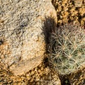 Small hedgehog cactus (Echinocereus).- Split Rock Loop Hike