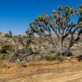 Lots of amazing Joshua tree scenery.- Eureka Peak via Covington Road