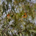 Overwinding monarch butterflies.- Ellwood Butterfly Grove