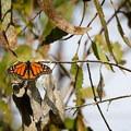 Monarch butterfly.- Ellwood Butterfly Grove