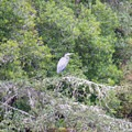 Great blue heron.- Lagoon Campground