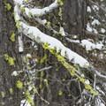 Beautifully contrasting snow and moss.- Tumalo Falls Nordic Loop via Skyliner Sno-Park