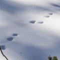 Bunny tracks in the snow.- Hahns Peak Lake Area