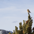 Red crossbill (Loxia Curvirostra).- Hahns Peak Lake Area