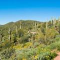 Saquaro cacti along the Pipeline Canyon Trail.- Pipeline Canyon Trail