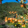 Globe mallow flower.- Pipeline Canyon Trail