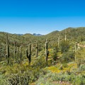 Saguara cactui from the Pipeline Canyon Trail.- Pipeline Canyon Trail