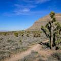 A dense grove of Joshua trees before the climbing begins.- Las Vegas Overlook Trail