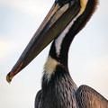 Pelican on Pier 60, Clearwater Beach.- Clearwater Beach
