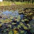 Look for critters among the lilypads.- Petersen Rock Garden