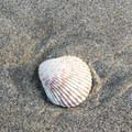 Shell along Siltcoos Beach.- Siltcoos Beach